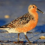 Red knot. Image thanks to conservewildlifeenj.org